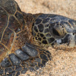 Green sea turtle suning on the sand — ストック写真