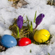 Crocus and easter eggs in snow — Stock Photo