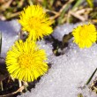 Three coltsfoots bolossoms in the snow — Stock Photo #10056836