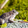 Frog Pelobates fuscus on the stone - Stock Photo