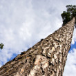Big pine in forest and sky — Stock Photo #8287176