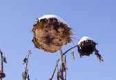 Two sunflowers heads with snow — Stock Photo