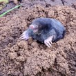Mole on summer molehill in the garden - Stock Photo