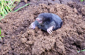 Mole on summer molehill in the garden — Stock Photo