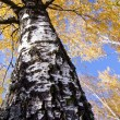 Autumn birches golden foliage and sky — Stock Photo