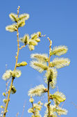 Yellow catkins on willow branches — Stock Photo