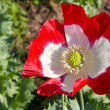 Stock Photo: Red and white poppy blossom