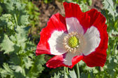 Red and white poppy blossom — Stock Photo
