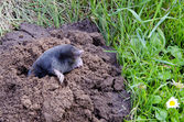 Spirng mole and molehill — Stock Photo
