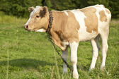 A Calf on the Meadow — Stock Photo