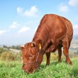 Stock Photo: Brown cow in field