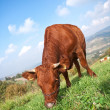 Brown cow in field — Stock Photo #10050421