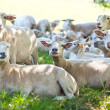 Sheeps rests on the shadow field - Stock Photo