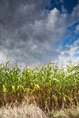 Field of corn, cloudy sky — Stock Photo