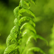 Green Fern - Stock Photo