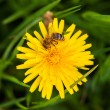 Bee on a flower — Stock Photo #10269902
