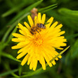 Bee on a flower — Stock Photo