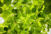 Green leaves, background — Stock Photo