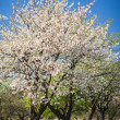 Flowering trees at spring — Stock Photo