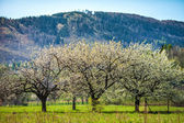 Flowering trees in the background of mountains — Stock Photo