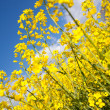 Rape field, canola crops on blue sky — Stock Photo