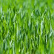Close up of fresh thick grass - Stock Photo