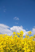 Rape field and blue sky with clouds in summer — Stock Photo
