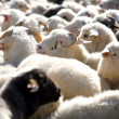 Flock of sheep — Stock Photo #9166048