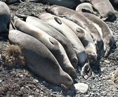 Leones marinos de california — Foto de Stock