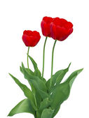 Three red tulips — Stock Photo