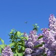 Stock Photo: Branches with flowers of pink lilac