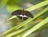 Papilio Polytes butterfly — Stock Photo