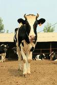 Cows in a farm — Stock Photo