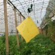 Yellow plate for traps insects in vegetables greenhouses — Stock Photo