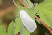 美国白蛾在野生环境中 — 图库照片