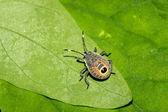 Stinkbug on green leaf in the wild — Stock Photo