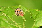Ladybug on green leaf in the wild — Stock Photo