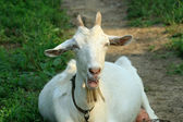 Closeup of goat — Stock Photo
