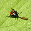 Stock Photo: Stinkbug predation another insect on green leaf