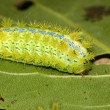 Lepidoptera in the wild — Stock Photo