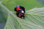 Mating ladybug on green leaf — Stock Photo