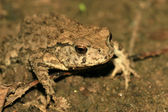 Bufo toads — Stock Photo