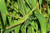 Locust — Stock Photo