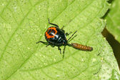 A stinkbug predation another insect on green leaf — Stock Photo