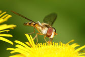 Syrphidae insects — Stock fotografie