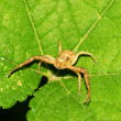 Stock Photo: Crab spider