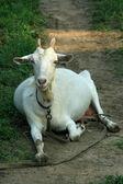 Closeup of goat — Stock Photo
