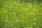 Large tracts of wild flowers — Stock Photo