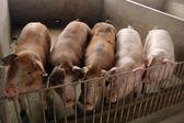 Schweine in einem schweinestall in einer farm — Stockfoto