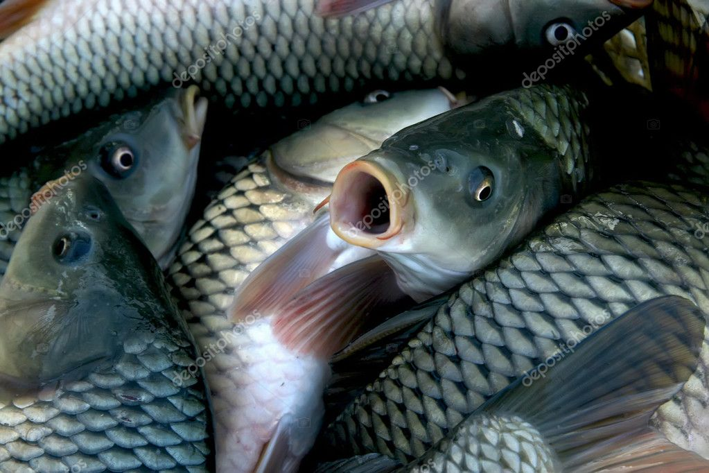 Freshwater fish in the pond china stock photo lnzyx for Freshwater pond fish